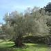olea-europea_olijfboom