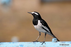 White browed Wagtail (K. Shreesh) Tags: india birds pune wagtail sarasbaug eos50d ef400f56l