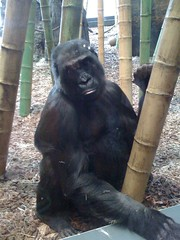 Ape at Lincoln Park Zoo