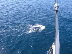BLUE WHALE BOW TAIL