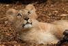 Naui (Sander van der Wel) Tags: baby zoo rotterdam blijdorp dierentuin leeuwin leeuw liones leeuwtje welpje naui