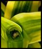 Here's looking at ya! (rexboggs5) Tags: gardens botanical spider australia queensland rockhampton flickrchallengegroup flickrchallengewinner thepinnaclehof tphofweek97