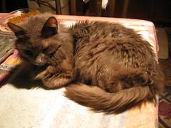 Blueboy, resting (Hairlover) Tags: pet cats pets public cat kitten kitty kittens kitties oldcat agedcat hairlover allcatsnopeople 26yearoldcat