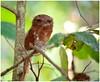 Ceylon Frog Mouth - Rarity Exposed (Naseer Ommer) Tags: india bird nocturnal kerala aves juvenile rarity thattekad ceylonfrogmouth batrachostomusmoniliger salimalibirdsanctuary thattekadbirdsanctuary naseerommer canoneos5dmarkii sigma150500mm drsalimali discoverplanet dpintl srilankafrognouth