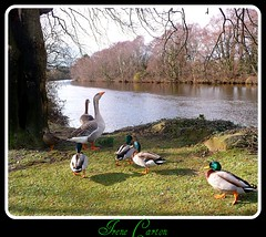"The Gathering at the river Arklow Ireland. (""""Irene"""") Tags: ireland orange bird feet nature beautiful birds standing river out walking duck colours wildlife details feathers goose mallard lovely wicklow stroll mothernature allrightsreserved arklow webfeet featers theinspirationgroup irenecartonsphotography"