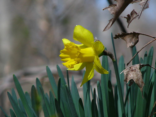 Daffodil 2 by paynehollow