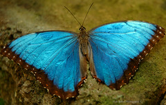 Butterfly Macro 3 (Nick Boren Photography) Tags: blue thanks oregon wonder one for wings nikon d70 exhibit lucky pacificnorthwest got morpho independence viewing landed i of