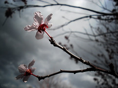 Paralleled (Carrie McGann) Tags: flowers clouds interesting blossoms plumtree plumblossoms