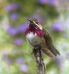 Calliope Hummingbird (spiderhunters) Tags: bird northamericanbirds calliopehummingbird stellulacalliope sanfranciscobaybirds californiabirds