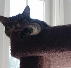 Little, Snoozing (lynn.gardner) Tags: cats cat scratchingpost littledude