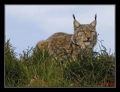 Lince Boreal (J.Izaguirre) Tags: naturaleza animal olympus felino 70300mm zuiko cantabria lince cabarceno e510