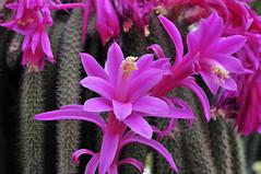 Aporocactus flagelliformis (Michael Döring) Tags: bochum d300 botanischergarten querenburg ruhruniversitätbochum aporocactusflagelliformis michaeldöring afs60microg