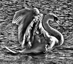 lake beauty (Ronnie jimmy) Tags: swans rons dramatictonemapped blinkagain