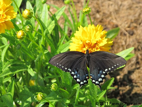 Butterfly on Early Sunrise coreopsis in the kitchen garden - FarmgirlFare.com