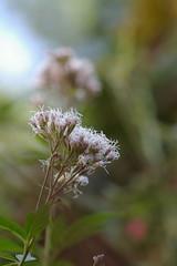 花が開いたフジバカマ