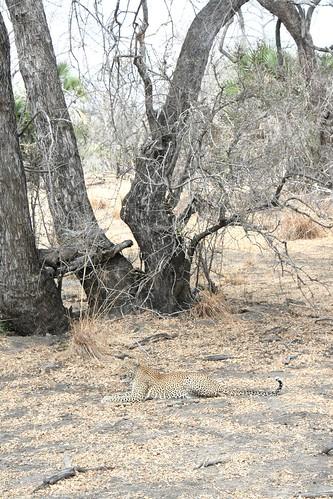 Leopard pausing his Impala ambush - Selous GR, Tanzania