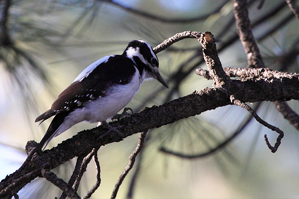 hairyWoodpecker