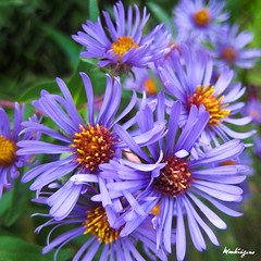 New England Aster (monteregina) Tags: flowers autumn plants canada macro fall nature yellow closeup fleurs jaune automne garden flora purple centre jardin center qubec mauve wildflowers plantae aster plantes flore purples fleurssauvages newenglandaster asternovaeangliae monteregina astraces asterdelanouvelleangleterre astersp