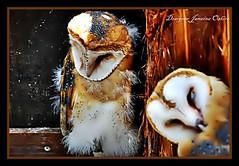 `☆´ Owl `☆´ (♫ Photography Janaina Oshiro ♫) Tags: nature japan digital olhar natureza triste owl coruja barnowl extinção parquedasaves nikond90 salveanatureza janainaoshiro