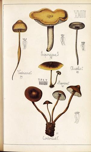 Saponaceus, Ventricosus, Aquosus et Conloctus spp.