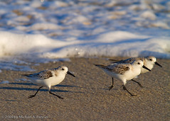 Wait for Me!!! (Michael Pancier Photography) Tags: nature birds surf waves florida wildlife beaches infrared fl peeps palmbeach seor palmbeachcounty sanderlings shorebirds naturephotographer northpalmbeach floridaphotographer michaelpancier michaelpancierphotography floridastateparks avianphotography landscapephotographer eos7d johndmacarthurbeachstatepark floridaavianphotography wwwmichaelpancierphotographycom seorcohiba floridabirdsbirdsofflorida