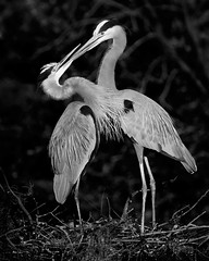 not a kiss (michaelrosenbaum) Tags: bird nature monochrome birds florida wildlife beak greatblueheron nesting anthropomorphic palmbeachcounty