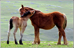 care... (sermatimati) Tags: family italy panorama parco animals countryside nikon italia country natura luci gps paesaggi cavalli atmosfera animali luce cardi abruzzo cucciolo wildanimals timidezza gransasso pascoli incanto puledro suggestioni allevamenti geodesia faunaitaliana cavallibradi artofimages animaliutili sermatimati bestcapturesaoi montestabiata mygearandmepremium mygearandmebronze mygearandmesilver mygearandmegold rememberthatmomentlevel4 rememberthatmomentlevel1 rememberthatmomentlevel2 rememberthatmomentlevel3 celebritiesofphotographyforrecreation photographyforrecreationclassic