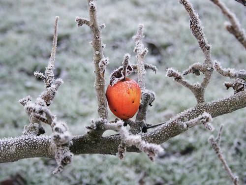 æblefrost
