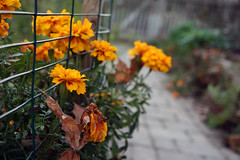 winter marigolds