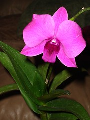 Dendrobium phalaenopsis (Spherical Bull) Tags: flowers orchid dendrobiumphalaenopsis