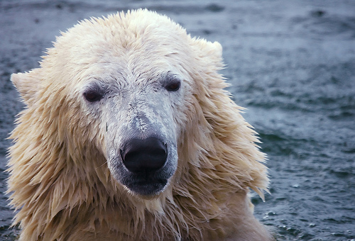 mape_s polarbear1