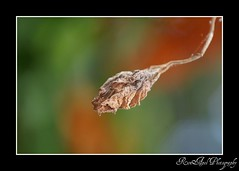 i will run and not grow weary ( is for pL ) Tags: life colors leaf stem bokeh dry pk pm weary a700 sonyalpha pinoykodakero minolta70210f4 alpha700 pinoymacro