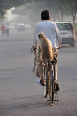 morning commute for a man and his monkey (Shreyans Bhansali) Tags: morning india man animal bike bicycle monkey delhi tail commute gurgaon haryana