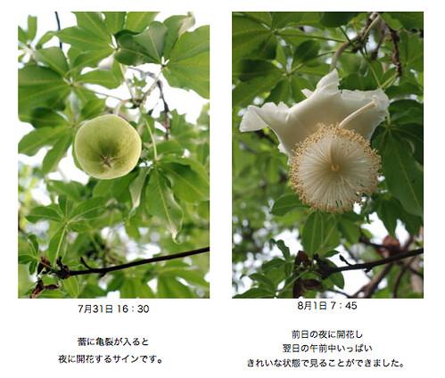 新潟県立植物園のバオバブ