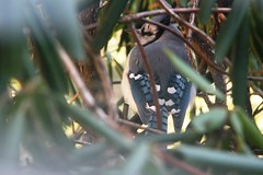blue jay in the bush