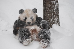 Tian loves exercising in the snow (jdbartross) Tags: snow zoo dc washington panda nationalzoo tiantian supershot abigfave fcawinner