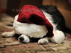 """No more Santa hat pictures!"" Meg: 49/52: Dec. 20, 2009 (seeit_snapit) Tags: santa christmas sleeping portrait dog holiday hat nikon nap meg canine bordercollie vob flickrgolfclub d300s motleypixel christmas2009 52weeksfordogs"
