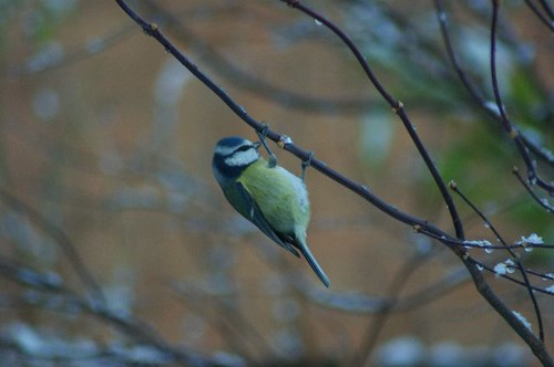 Christmas Blue Tit