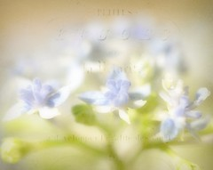 Etudes in Blue (luvpublishing) Tags: flowers blue texture nature floral text blossoms overlay tiny picnik hydrangeas layered explored magicunicornverybest softdreamyandethereal