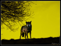 749  Le Loup (Nebojsa Mladjenovic) Tags: light sky mist france nature animal silhouette fauna digital outdoors lumix wolf wildlife panasonic loup priroda fz50 svetlost supershot artofimages mladjenovic bestcapturesaoi mygearandmepremium mygearandmebronze mygearandmesilver mygearandmegold mygearandmeplatinum mygearandmediamond