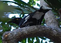 pied currawong 2 (tkmckinn) Tags: birds australia july09