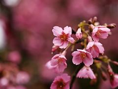 Taiwan Cherry  (olvwu | ) Tags: pink flower cherry leaf spring taiwan bark pinkflower cherryblossom sakura taipei bud prunus     cherryblossomfestival rosaceae cherryblossomviewing taipeicounty jungpangwu oliverwu oliverjpwu taiwancherry prunuscampanulata sanchih sanjhih  olvwu prunuscampanulatamaxim jungpang sanjhihtownship formosancherrytree sanchihcherryblossomseason sanchihtownship