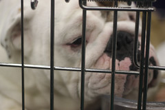 Golden Gate Kennel Club Dog Show: English Bulldog