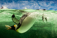 Got it! (Kerrie McSnap) Tags: fish green water birds animal swimming penguin aquarium nikon feeding floating melbourneaquarium d60 kingpenguin flightlessbirds