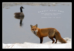 The Fox and the Goose (greg obierek) Tags: winter snow ice nature canon wildlife goose telephoto fox 7d prey delaware predator canadagoose redfox lglass ef400mmf56l bombayhooknwr eos7d