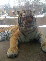 Tiger at Lincoln Park Zoo