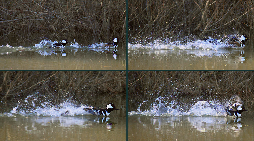 male hooded mergansers defending territory