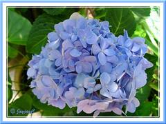 Hydrangea macrophylla 'Endless Summer'
