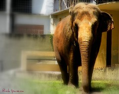 Apague este email depois de ler... (.**rickipanema**.) Tags: brazil portrait brasil riodejaneiro zoo dumbo elefante riozoo rickipanema paquiderme brazil2014 brasil2014 nikoncoolpixp80 rio2016 fundaçãoriozoo zoologicodoriodejaneiro
