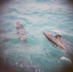 Kaikoura Wild Dolphin Pair